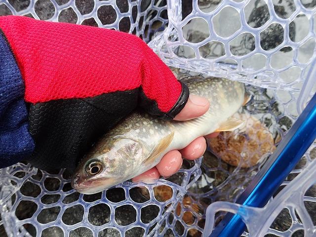 七寸岩魚2