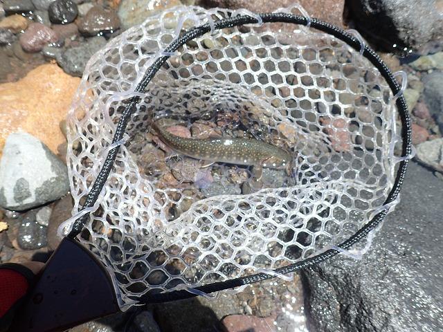 20cmの岩魚
