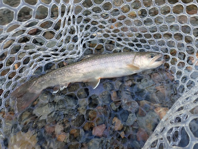 25cm岩魚